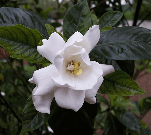 Gardenia là gì?